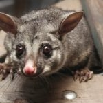 Some Tips for Removing A Possum