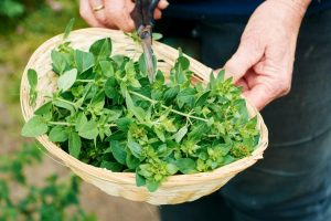 Buy Oregano Plant To Get Health Benefits